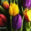 Tulips, Stratford Upon Avon, Warwickshire