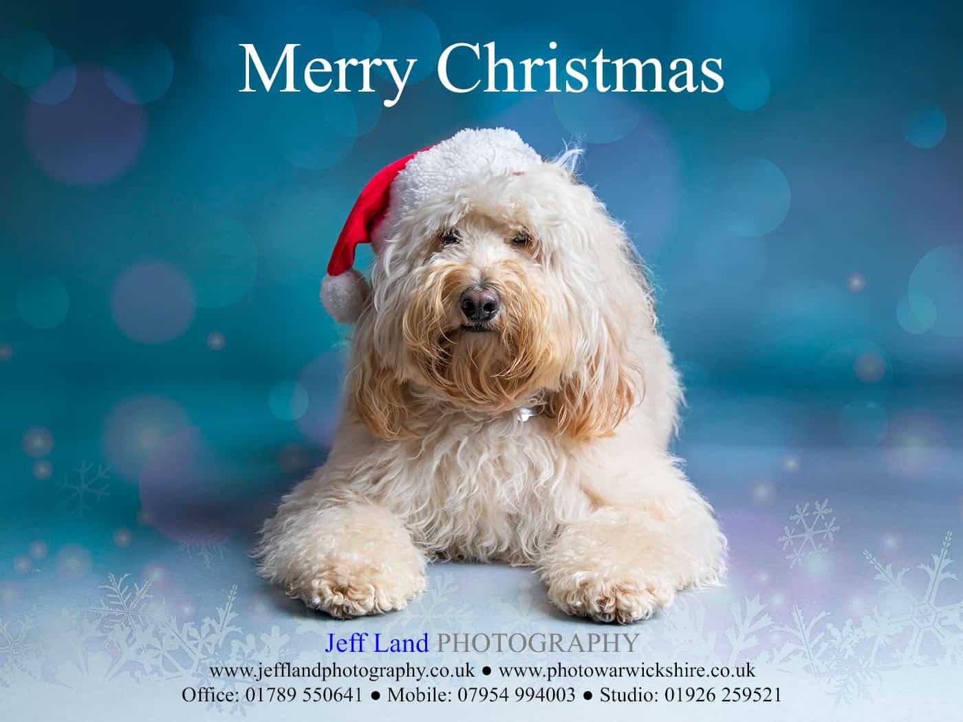 Christmas Card, Cockapoo, Jeff Land Photography, Studio Photography, Stratford-upon-Avon