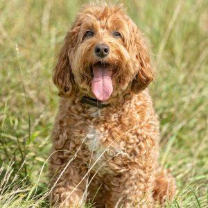 Goldendoodle, Dog, Pet, Portrait, Photographer, Stratford upon Avon, Warwickshire, Cotswold