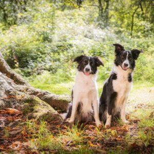 Border Collie, Dog, Pet, Portrait, Photographer, Stratford upon Avon, Warwickshire, Cotswold