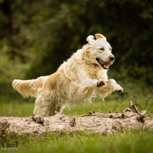 Golden Retriever, Dog, Pet, Portrait, Photographer, Stratford upon Avon, Warwickshire, Cotswold