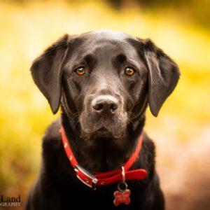 Black Labrador, Dog, Pet, Portrait, Photographer, Stratford upon Avon, Warwickshire, Cotswold